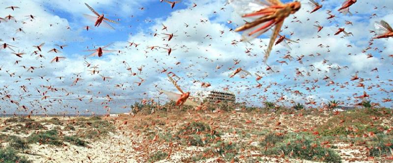 INVASIONE DI CAVALLETTE IN SARDEGNA, UNA CATASTROFE PER CENTINAIA DI AZIENDE AGRICOLE.